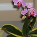Unknown Phalaenopsis hybrid – Pearl Crosier