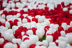 White Love and Red Love (Bottle) Tags: red white flower tulip keukenhof