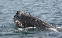 Humpback whale, Bay of Banderas Puerto Vallarta Mexico. Best time to see them is beetween december and febuary (poacher rtd) Tags: mexico pacific jalisco nayarit nuevovallarta bahiadebanderas puertovallarta humpbackwhale whalewatching bayofbanderas