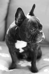 Who? (Lainey1) Tags: bw dog nikon oz bulldog frenchie frenchbulldog ozzy frogdog d90 lainey1 nikond90 elainedudzinski