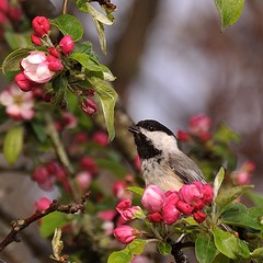 Checking out the Blossoms......Explored (l_dewitt) Tags: flowers flower chickadee appletree wildbird blaclcapedchickadee
