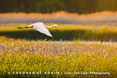 Preamble to dusk (Neerod [ www.colorandlightphotography.com ]) Tags: light white green field gold dusk egret