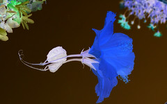I never promised you a rose garden (DirtyBootPrints) Tags: blue art film nature beauty fun petals experimental artistic negative hibiscus