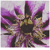 043 (imagepoetry) Tags: white plant green nature garden dark purple blossom imagepoetry a350 sonyalpha