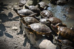 turtles (eloi1215) Tags: nature beautiful photography nikon streetphotography capturedmoments iluvphotography streamzoo rebelsunited streamzoophotooftheweek boredomeshot