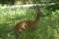 White Tail Deer and Fawn (jdawn1982) Tags: twins babies doe fawns whitetail whitetaileddeer woodwardcounty woodwardok july2013 boilingspringsstateparkwoodward moorelandok