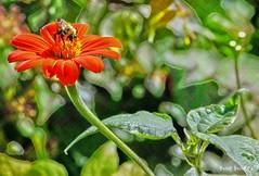 bee in red flower (Hal Halli) Tags: red summer flower texture beautiful garden spring bee creation honey pollen weave coth fantasticnature alittlebeauty natureahrefhttpwwwflickrcomgroups1337195n24bfantasticnaturebabifyoureceived4groupawardsahrefhttpwwwflickrcomgroups1337195n24discuss721576288114720