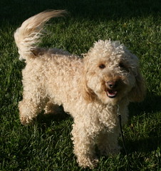 175 oliver our dogs 300 (jubilee.labradoodles) Tags: pets dogs mi jubilee breeders onsted labradoodles goldendoodles