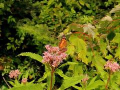 Butterfly (Yolanta Z) Tags: stagathe