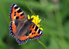 Small Tortoiseshell (Mr Grimesdale) Tags: butterfly butterflies smalltortoiseshell stevewallace britishbutterflies mrgrimesdale