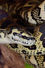 Morelia spilota ssp (Psirex) Tags: nikon 85mm micro nikkor snakes f35 schlangen d5100
