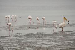 "Spot the ""intruder"" (Fr4nchito) Tags: africa morning winter portrait animals reflections flamingo lagoon afrika laguna inverno namibia riflessi ritratto animali mattina walvisbay fenicottero"