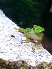 Green cutie (natalie.hope) Tags: baby cute green animal bright reptile vibrant lizard gecko babylizard babygecko