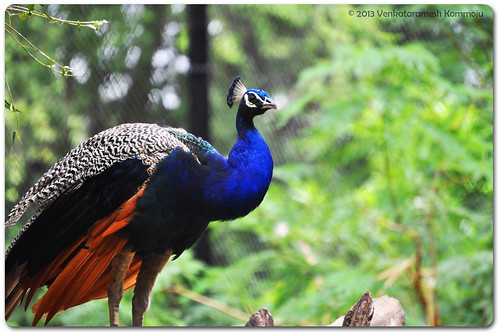Peacock - National bird of India
