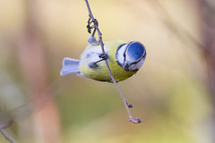 Blue Tit - Parus caeruleus (L.Mikonranta) Tags: blue bird nature birds canon finland eos is tit 300mm ii 7d l usm eurasian f28 ef caeruleus extender parus 14x cyanistes 420mm hankasalmi sinitiainen canonef300mmf28lisusm canonefextender14xii parcae canoneos7d copyrightlm murtoiskyl provinceofwesternfinland