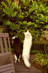 Barney and Tatty. (Rosie Pics.) Tags: white black garden tail frogs angora turkish nosey moggie
