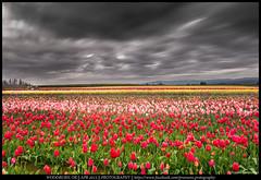 Caught in the storm (Praveen's PRotography) Tags: flowers storm festival oregon sunrise portland landscape spring nikon farm tulip woodenshoe woodburn 2015 d600