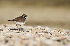 Corriere Piccolo (luporosso) Tags: naturaleza bird nature birds fauna nikon natura uccelli uccello naturalmente corriere allaperto luporosso nikond300s