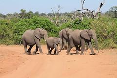 Chobe National Park, Botswana (MJR96) Tags: africa park red wild tree green sand outdoor wildlife safari national botswana chobe