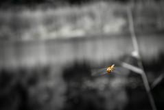 Vretenac (Odonata)