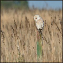 Barn Owl (image 2 of 4) (Full Moon Images) Tags: bird nature barn reeds nt wildlife reserve national owl trust prey fen cambridgeshire birdofprey reedbed wicken