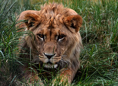 The Truth Is Like a Lion (andrewrosspoetry) Tags: explore