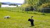 Fornebu mai 2015 (Rune Lind) Tags: summer dog playing dogs oslo norway puddle norge sommer running hund otto jing fornebu ligger hunder leker 2015 pudle hvit løper storpuddel utendørs kongepuddel inngjerding hundehjørnet fornebustranda spillerdød inngjerdet fornebustranden