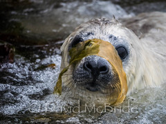 Weener plays in surf with weed (davidmcbridephotography) Tags: atlantic grey seal pup white coat weener baby cute playing sea weed incredible fun play isles scilly cornwall scillies annet wild outdoors adventure divescilly olympus panasonic micro 43 quality atmospheric interaction game character surf wash playful amusing halichoerus grypus