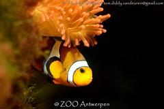 zwarte driebandsanemoonvis - Amphiprion percula - Orange clownfish (MrTDiddy) Tags: zwarte driebandsanemoonvis amphiprion percula orange clownfish drieband driebands anemoonvis anemoon vis clownvis clown fish nemo marlin zoo antwerpen antwerp zooantwerpen