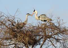 couple héron cendré au parc ornithologique du pont de Gau - Grey Heron (frimoussec) Tags: couple héron cendré parc ornithologique pont de gau grey heron nid