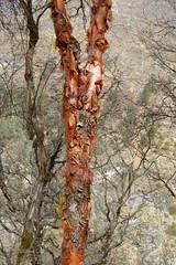 Himalaya Cherry Tree (Alfesto) Tags: nepal trekking wanderung himalaya namche khumbuarea sagarmathanationalpark tengboche phortse phorche