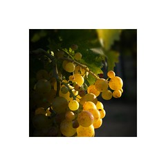 Una piccola storia di acini e umane fatiche (GP Camera) Tags: nikond7100 sigma1770contemporary cluster grappolo grape uva muscat moscato vineyard vigneto fruits frutti yellow giallo light luce shadows ombre lightandshadows lucieombre lighteffects effettidiluce latesummer tardaestate blackbackground sfondonero darkbackground sfondoscuro textures trame bokeh allaperto vignetting depthoffield profonditdicampo squareformat formatoquadrato frame cornice italy italia piemonte monferrato darktable gimp digitalprocessing elaborazionedigitale