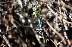 Green darner (male) (TJ Gehling) Tags: insect odonata anisoptera dragonfly darner aeshnidae greendarner commongreendarner anax anaxjunius canyontrailpark elcerrito