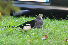 Pies Vs Epervier (AlainG) Tags: 93 france oiseau pigeon stdenis bird birdofprey sparrowhawk magpie iledefrance