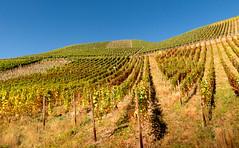 Deep in wine (Carlos Lacano) Tags: landscape wine panasonic fz 300 carlos lacano germany ahr