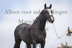 15 oktober 2016-8-2 (MZorro4) Tags: mariekehaverfotografie oudesluis schagen paardenfotografie portretfotos rijden wwwmariekehaverfotografienlpaarden