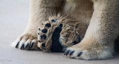 Brentatzen / Bear's paws (konstantin oxy) Tags: br eisbr bear pfoten tatzen paws