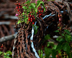 Barbed wire and pigeon berry (justkim1106) Tags: barbedwire wire barbs points berries red strands coils