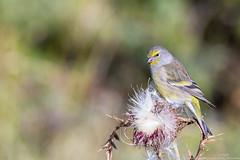 Venturon montagnard (gilbert.calatayud) Tags: cardueliscitrinella citrilfinch venturonmontagnard bird oiseau fringillids passriformes plateau de beille pyrnes