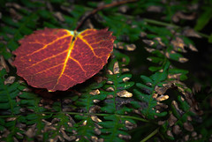 shapes of autumn.....explored... (A. Wrench) Tags: leaf fall fallcolors autumn aspen fern wisconsin forest woods trees bracken brackenfern