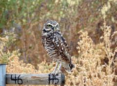 Burrowing Owl (aurospio) Tags: owl bird raptor arizona gilbertarizona burrowingowl