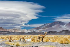 Vicuñas - Paso San Francisco (Captures.ch) Tags: 2016 animal argentina black blue brown bushes clouds desert gray hills landscape life mountains nature october orange pasosanfrancisco perfect red road sky southamerica stones travel white yellow vicuñas wow