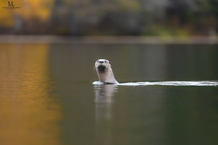 Loutre de rivière - North American river otter - Lontra canadensis