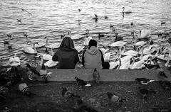 swan feeding (jerseyno12002) Tags: vögel fütterung taubenfüttern donau ufer pause schwan swan doves tauben