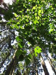 An Imaginary Forest #213 (tt64jp) Tags: 植物 japan japanese 日本 nature plants tree 自然 木 森 forest plant flora green 緑 風景 landscape みどり 茨城 日立 ibaraki hitachi 御岩山 杉 スギ cedar japon 일본