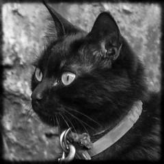 Alina ( fOto) Tags: alina cat gato gata gatita gatito animal mascota square cuadrada monocromo monochrome byn bw bn lightroom panasonic gf3 lumix mirrorless m43 micro43 claudiocigliutti