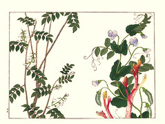 Wisteria and pea (Japanese Flower and Bird Art) Tags: flower wisteria millettia japonica fabaceae pea pisum sativum hoitsu sakai kiitsu suzuki kimei nakano nihonga woodblock picture book japan japanese art readercollection