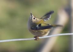 Wintergoldhhnchen***goldcrest***Regulus regulus (BrigitteE1) Tags: wintergoldhhnchen goldcrest regulusregulus vogel bird helgoland deutschland germany heligoland singvogel songbird specanimal
