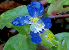 #Wild #flowers #Asiatic #Dayflower #Mouse #Ears #Dew #Herb - #Commelina #communis #plant #green #blue #pedal #pedals #two #ground #growing #small #little #very #tiny #nature #wildlife #Connecticut #Mike #Liebler #Mike's #USA #vernon #Rockville #pretty (mikeliebler222) Tags: wild flowers asiatic dayflower mouse ears dew herb commelina communis plant green blue pedal pedals two ground growing small little very tiny nature wildlife connecticut mike liebler usa vernon rockville pretty