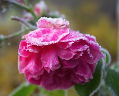 Der erste Frost (ute_hartmann) Tags: